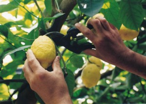 """Limoneto """"sfusato amalfitano"""" o Costa d'Amalfi"""