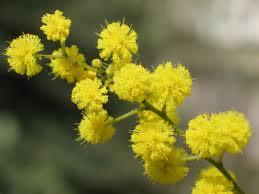 La mimosa, simbolo tradizionale dell'8 marzo.